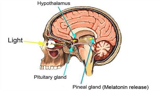 Wissen über Melatonin