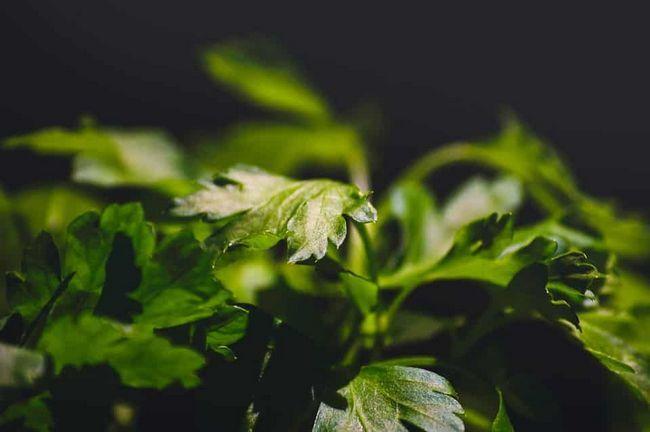 Nutzen für die Gesundheit von Petersilie in frischen Blättern