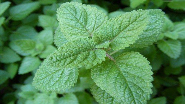 natürliche Heilmittel für Demenz-Zitronenmelisse