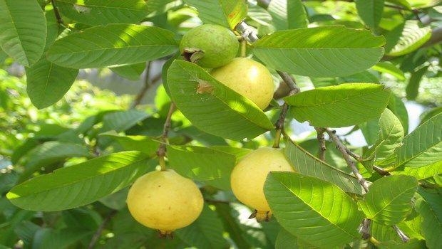 wie Zahnweh-Guave Blätter zu stoppen