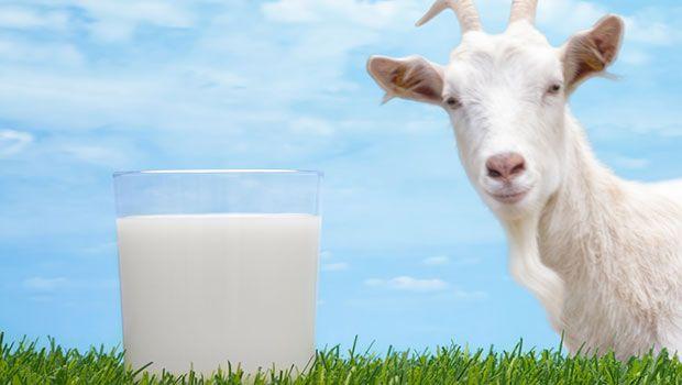 Raw ziegenmilch vorteile und einige vorsichtsmaßnahmen davon trinken